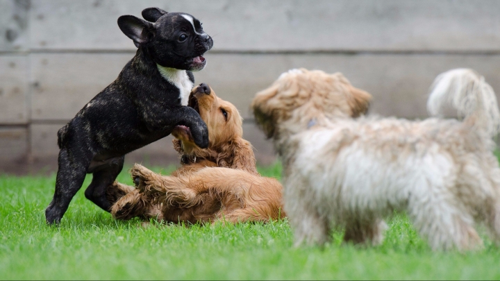 Relación con otros perros_dogminancia.com