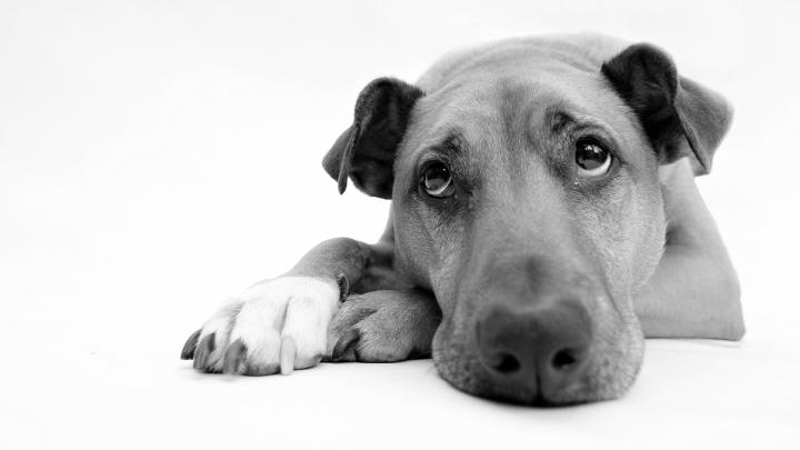 Dogminancia_encuesta sentimientos perros